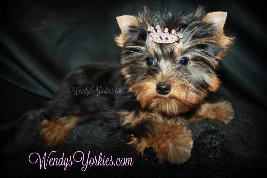 Diva Yorkie puppy for sale, WendysYorkies, Abby 2.0