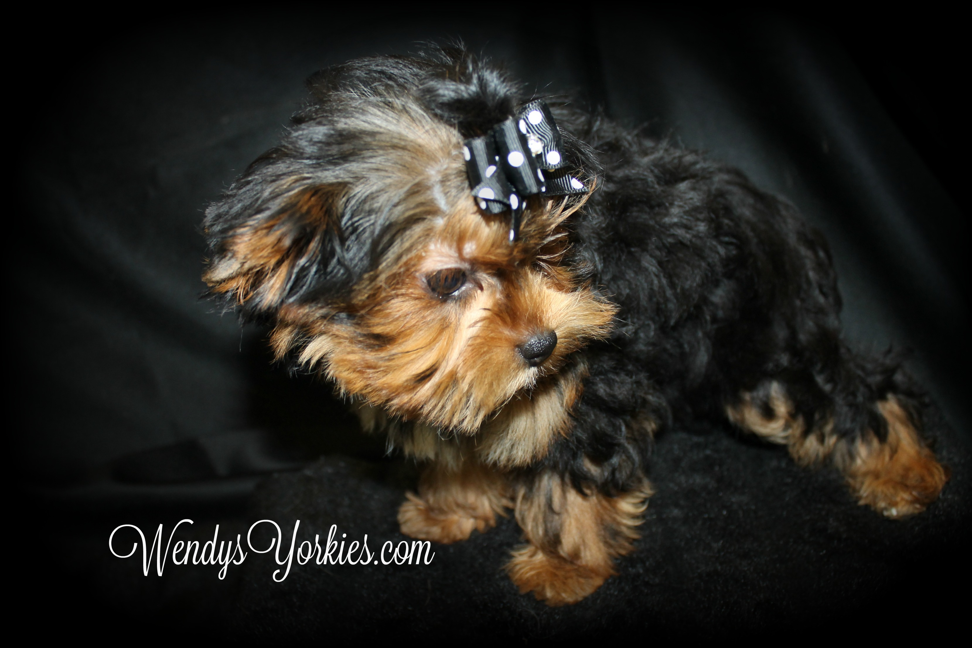 Female Yorkie puppy for sale, WeneysYorkies, PhoebeDixie