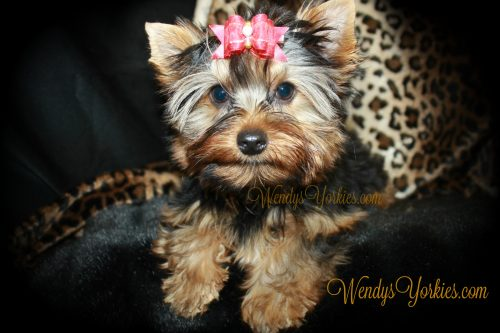 Male Teacup Yorkie puppy for sale, WendysYorkies, Abby m1