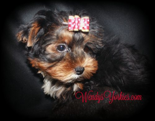 Male YOrkie puppy for sale, WendyYorkies, Chanel m1