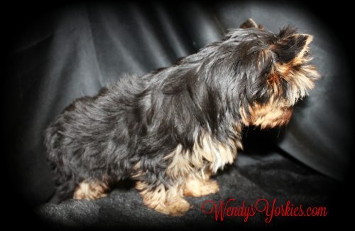 Male Yorkie for sale, Abby m