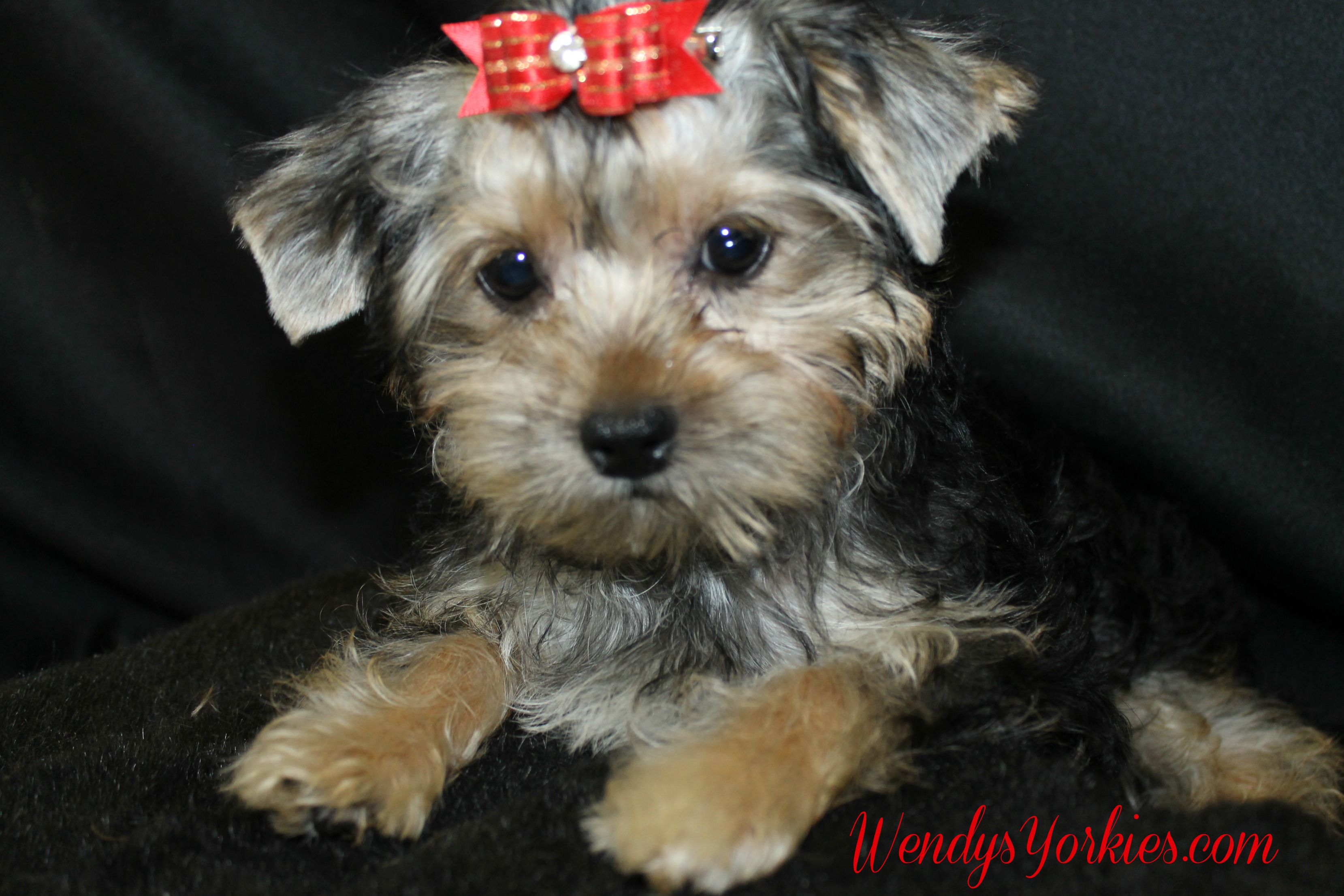 Male Yorkie puppy for sale, Dixon Phoebe