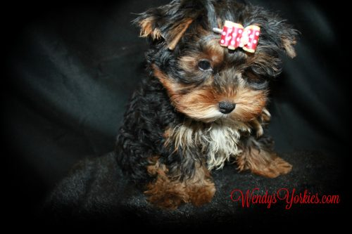Male Yorkie puppy for sale, WendysYOrkies.com, Chanel m1