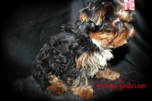 Male Yorkie puppy for sale in Texas, WendysYorkies, Chanel m1