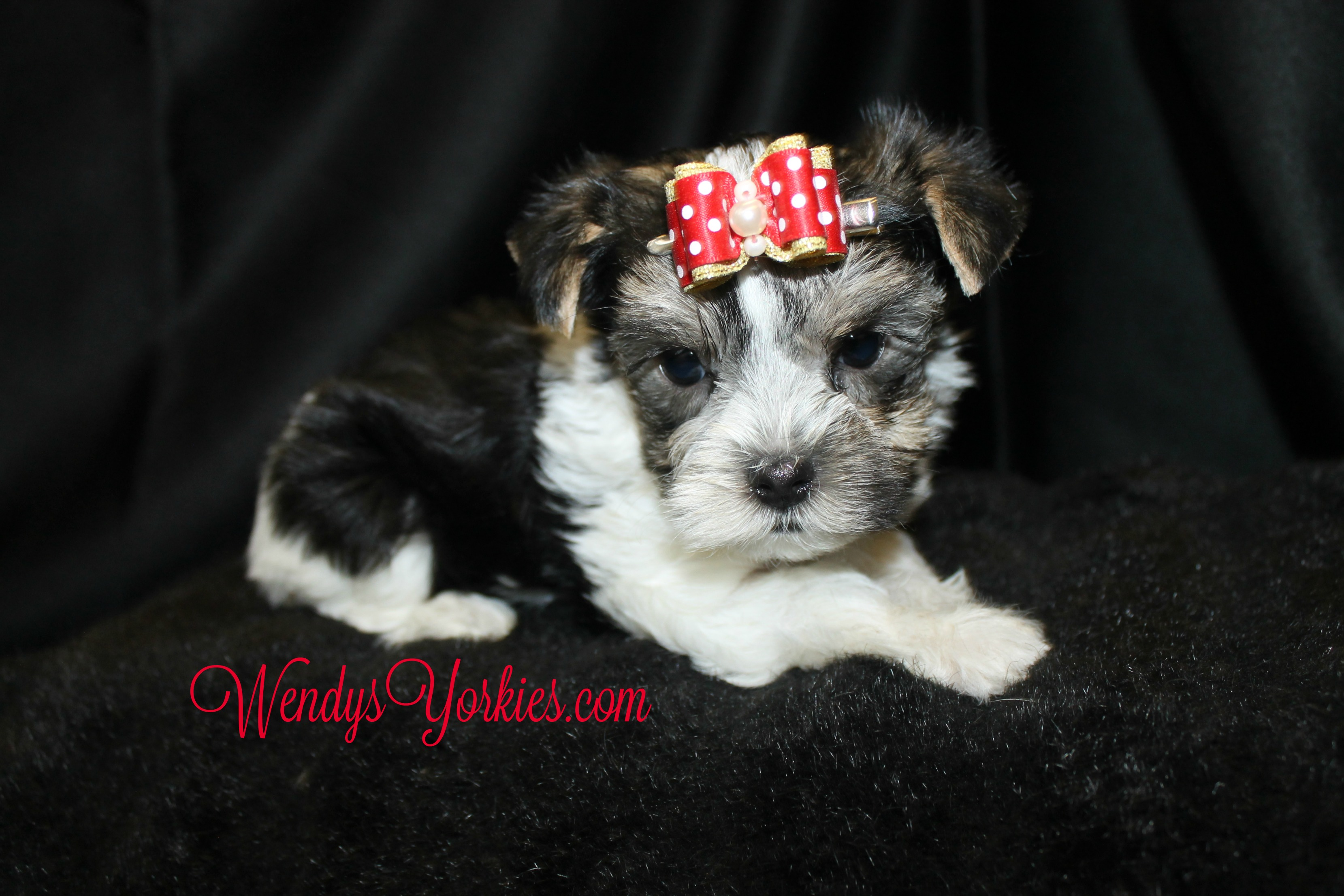 Morkie puppy for sale, WendysYorkies.com, Roxy