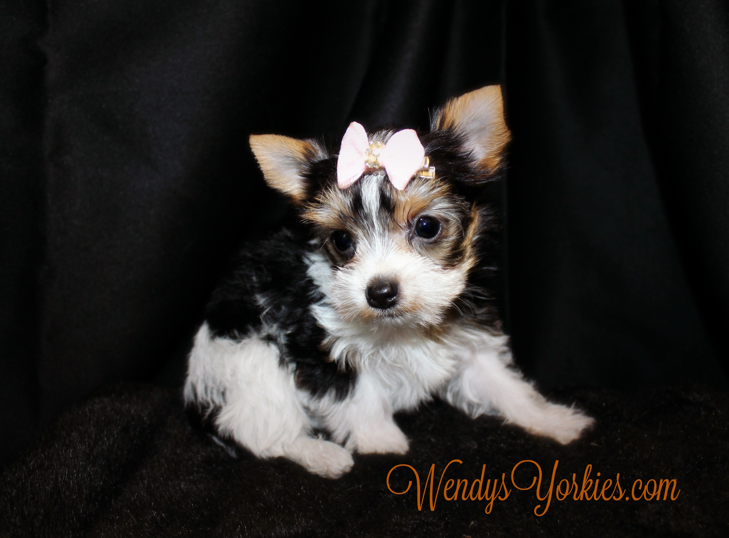 Parti Female Yorkie puppies for sale, WendysYorkies.com, Daisy fp