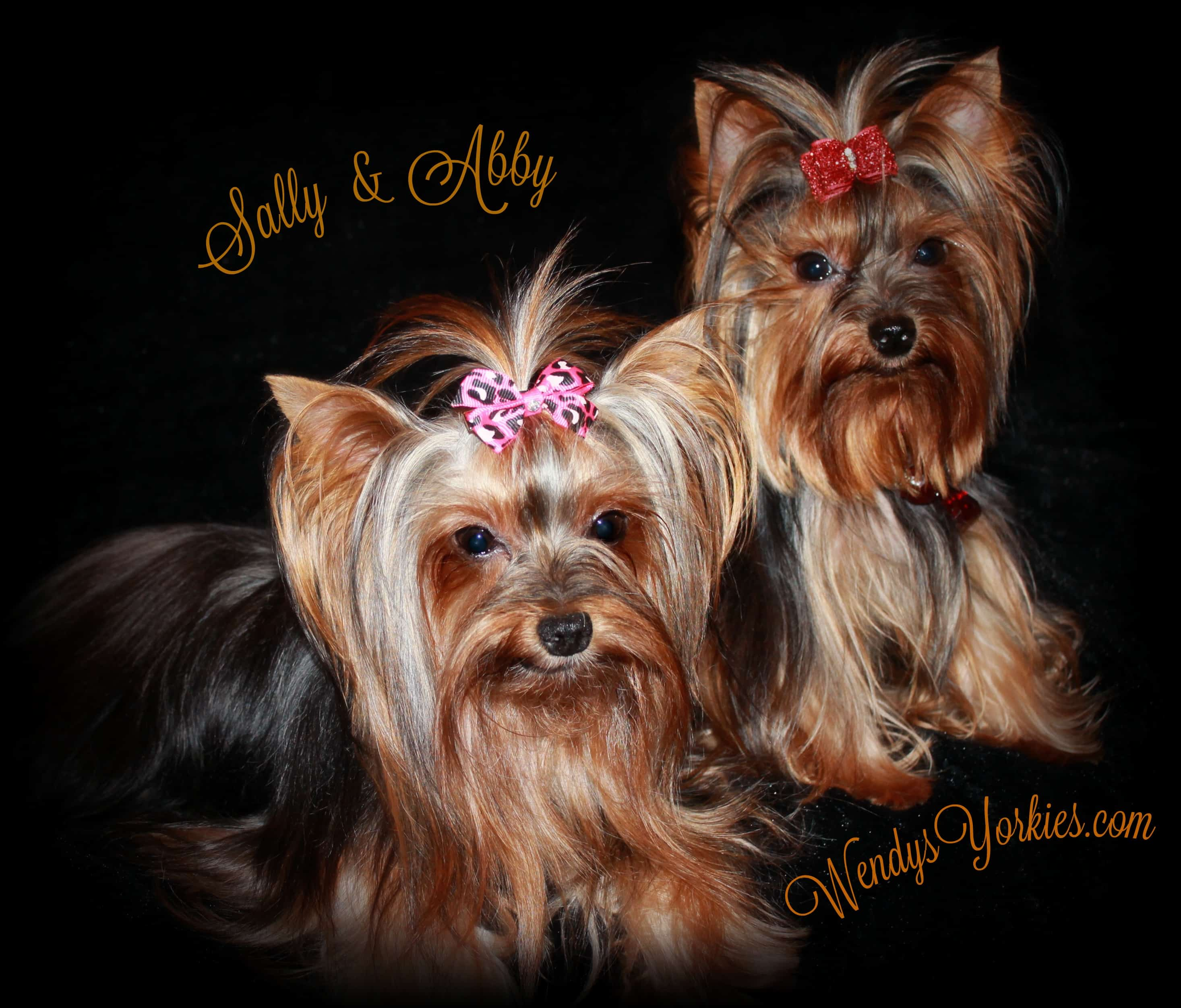 Sally and Abby , WendysYorkies.com, Yorkshire Terrier Breeder in Texas