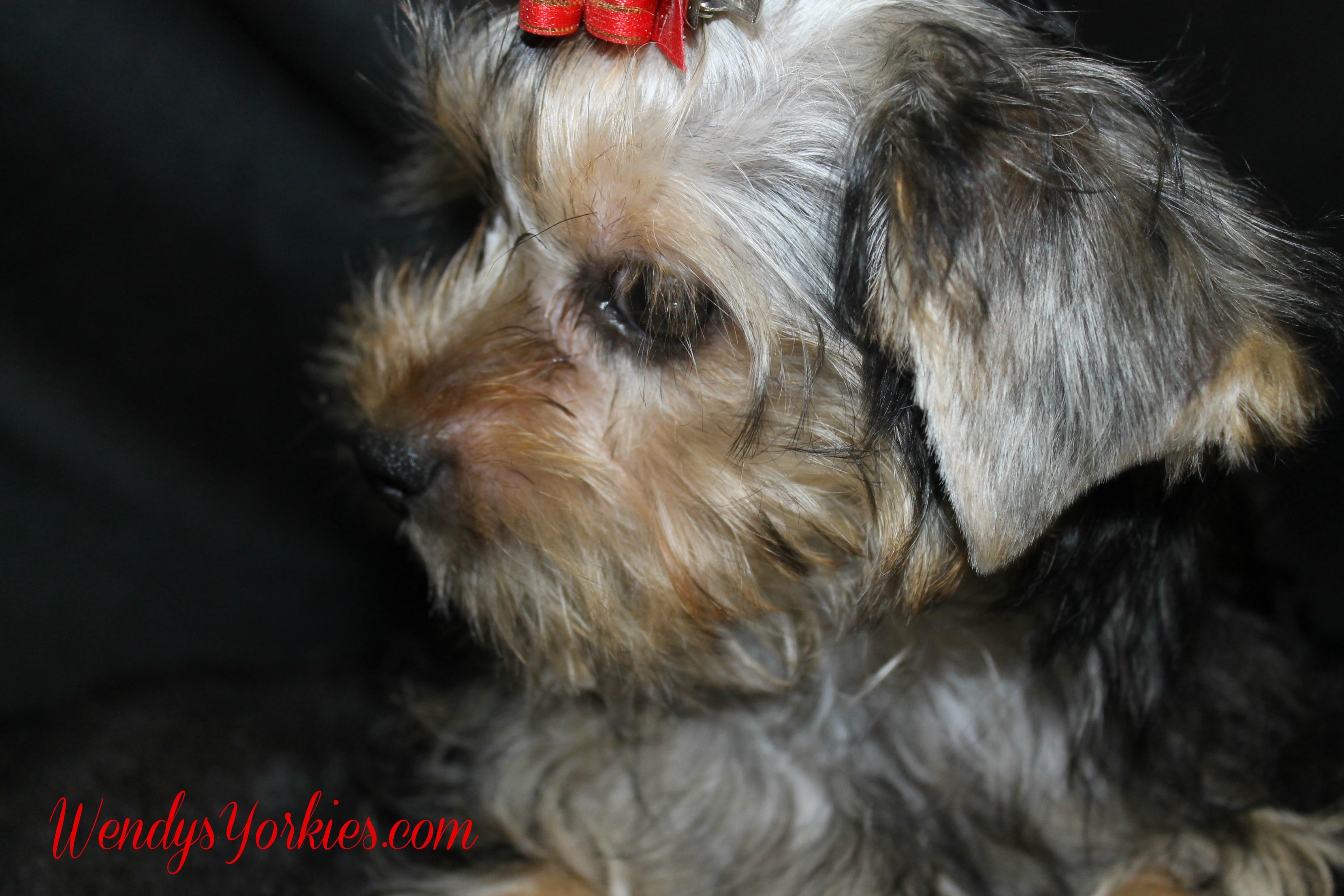 Sweet Yorkie puppy, WendysYorkies.com, PhoebeDixon