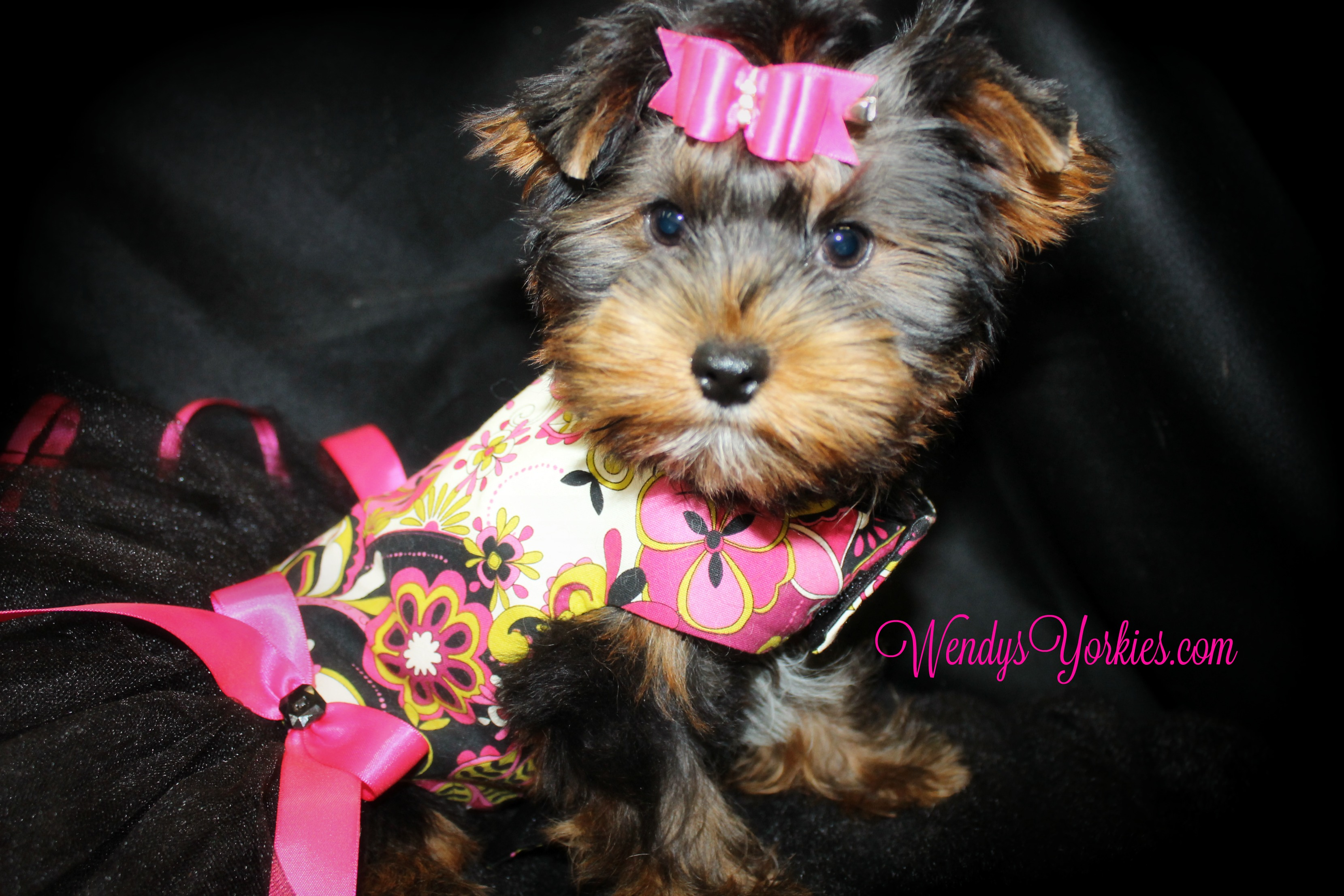 Teacup Female Yorkie puppies for sale in Texas, WendysYorkies, ChanelFancy