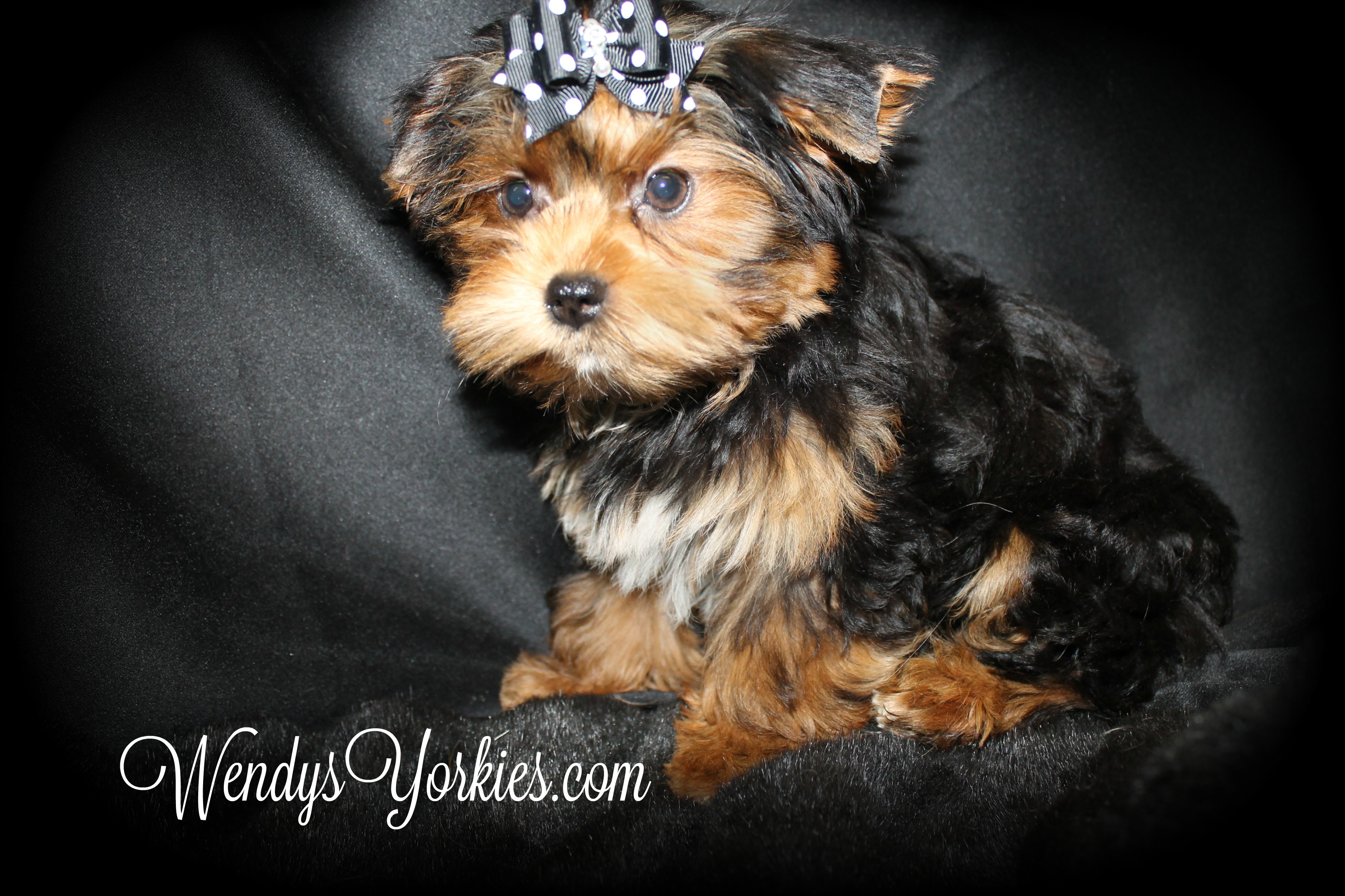Teacup Female Yorkie puppy for sale, WendysYorkies.com, PhoebeDixie