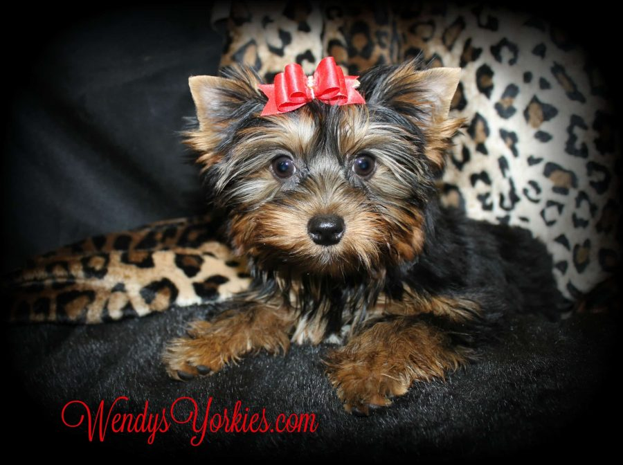Teacup Female Yorkie puppy for sale, Yorkie breeder, WendysYorkies.com