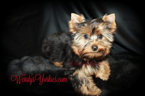 Teacup Male Yorkie puppy for sale, WendysYorkies.com, Abby m1