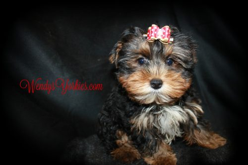 Teacup Male Yorkie puppy for sale, WendysYorkies.com, Chanel m1