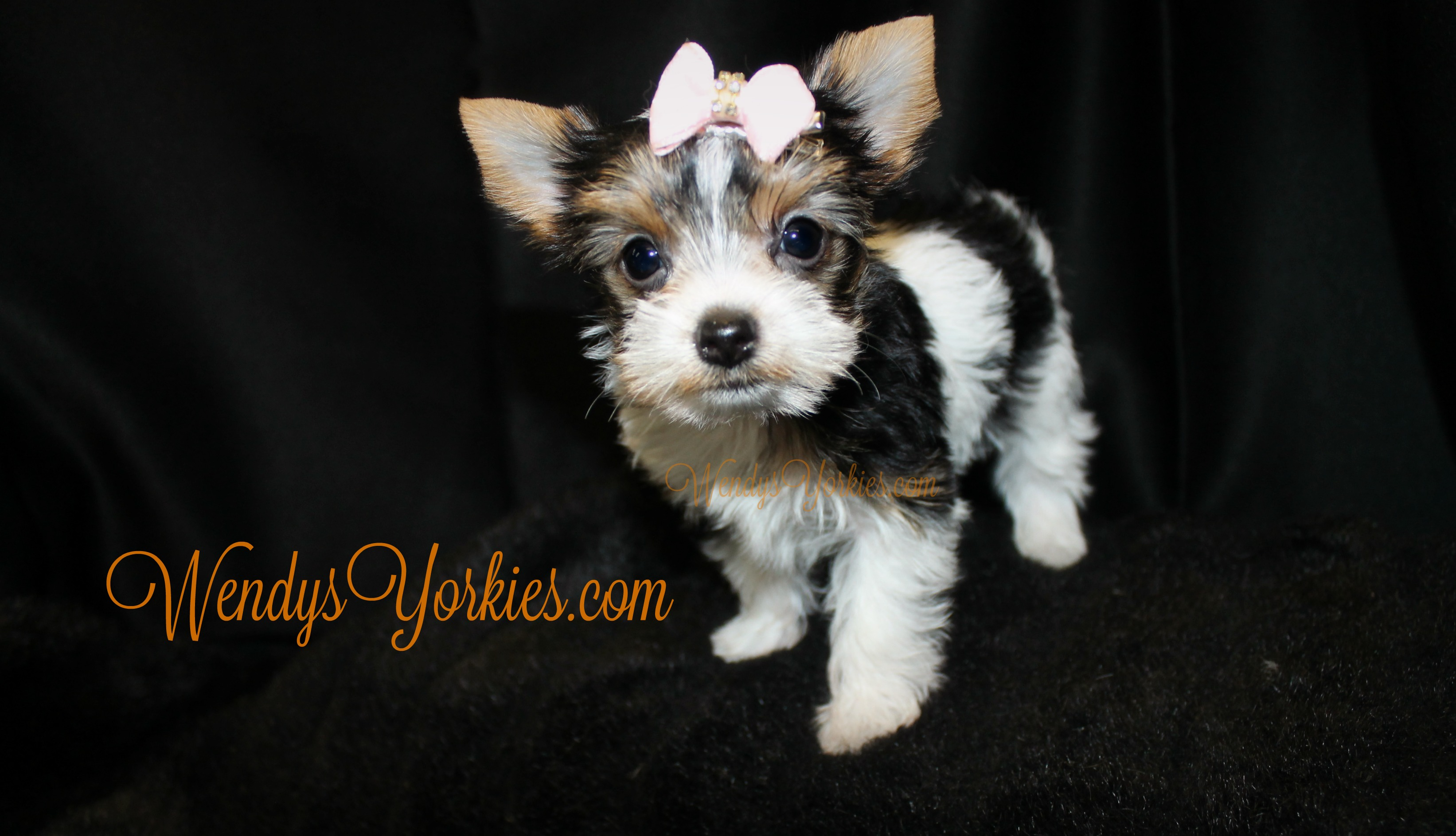 Teacup Parti Yorkie puppy for sale, WendysYorkies.com, Daisy pf