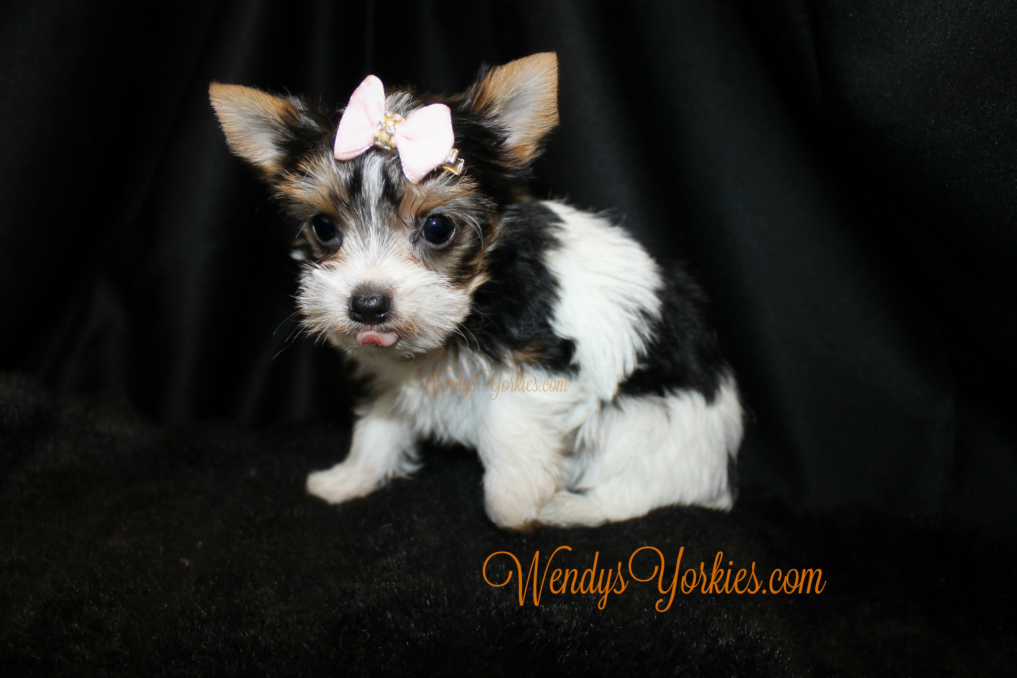 Teacup Parti Yorkshire Terrier Puppy for sale, WendysYorkies, Daisy pf
