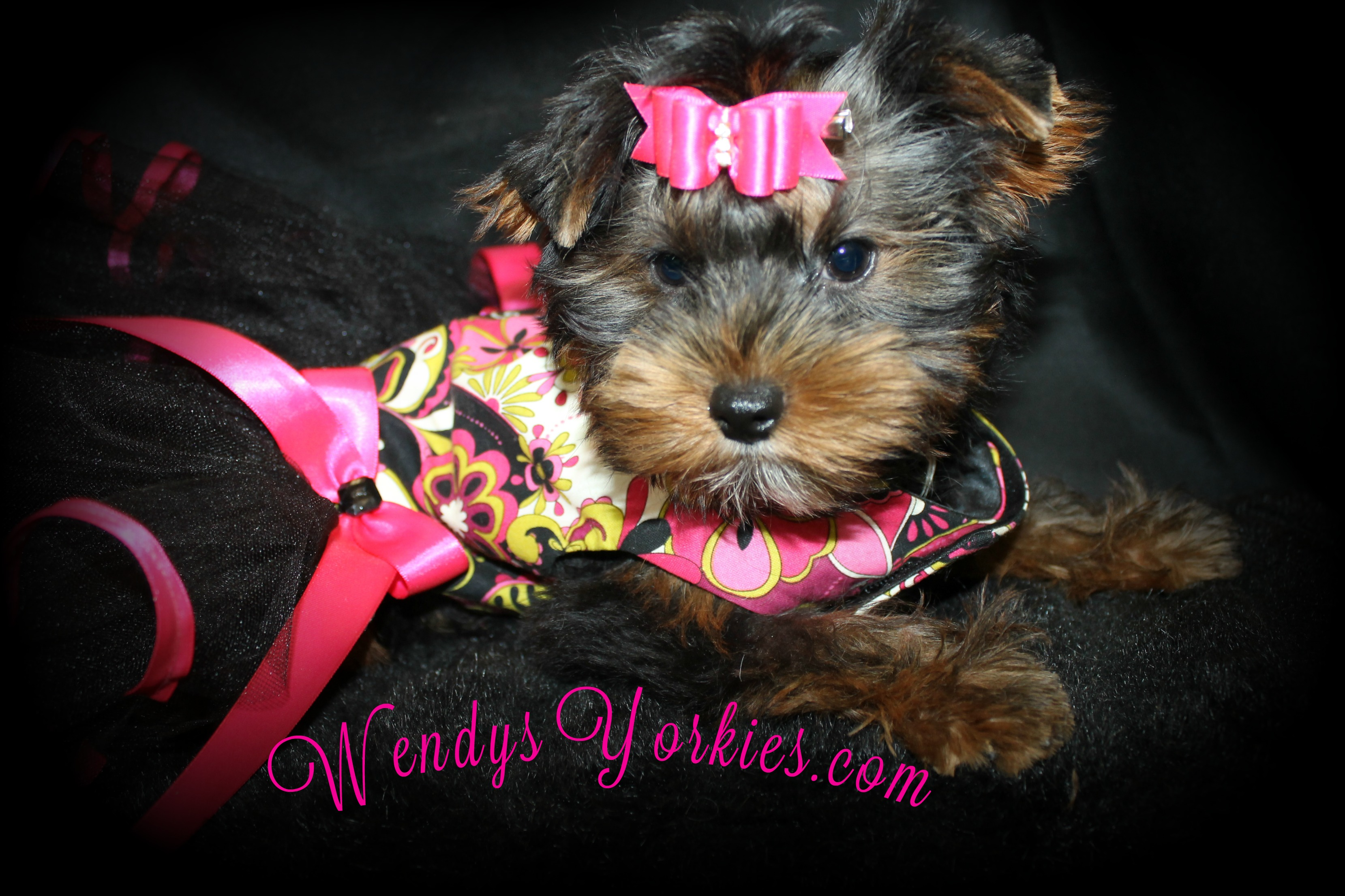 Teacup Yorkie puppies for sale, WendysYorkies.com, ChanelFancy