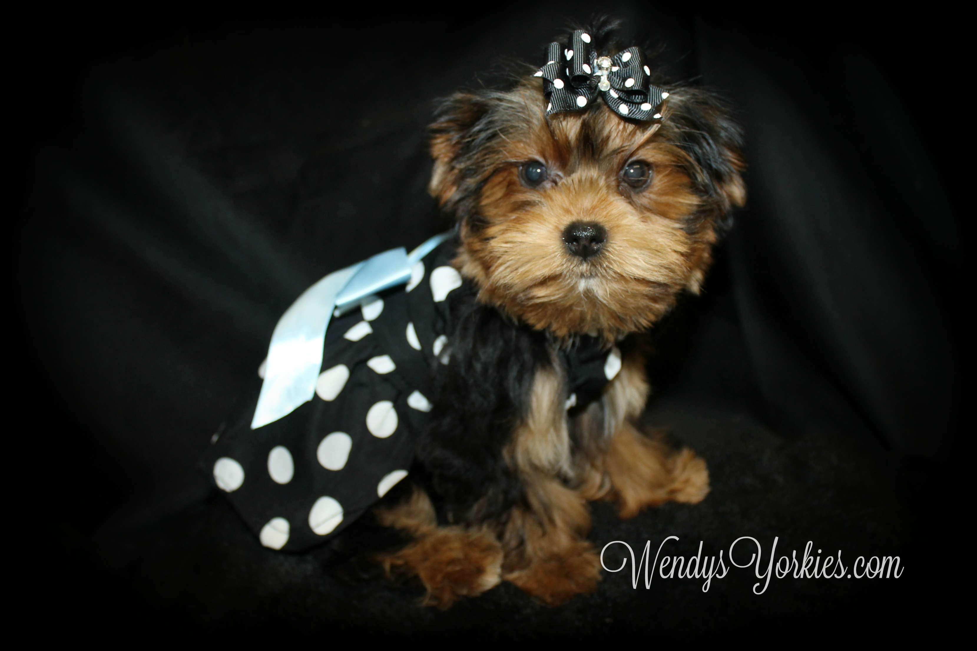 Teacup Yorkie puppies for sale, WendysYorkies.com, PhoebeDixie