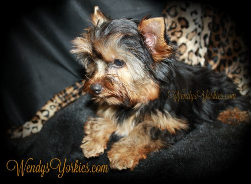 Teacup Yorkie puppy for sale, WendysYorkies, Abby m1