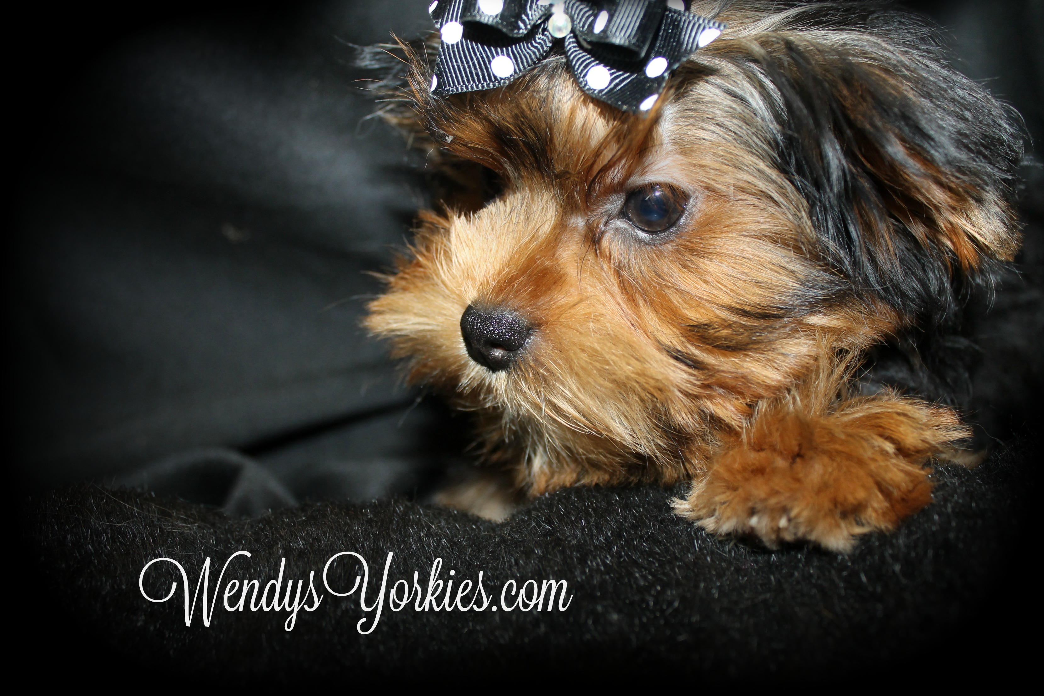 Teacup Yorkies for sale, WendysYorkies, Phoebedixie