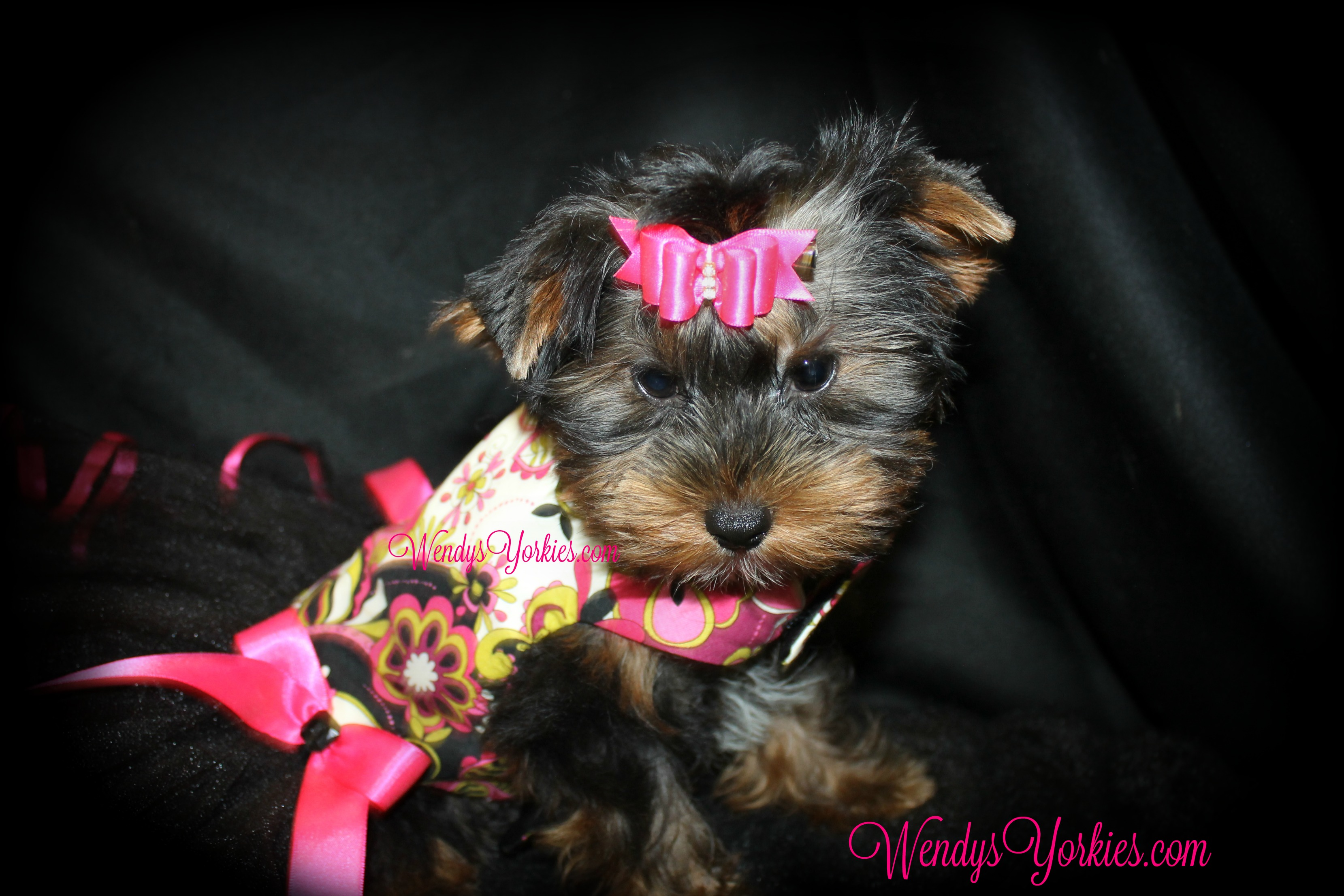 Teacup female Yorkie puppies for sale, WendysYorkies, ChanelFancy