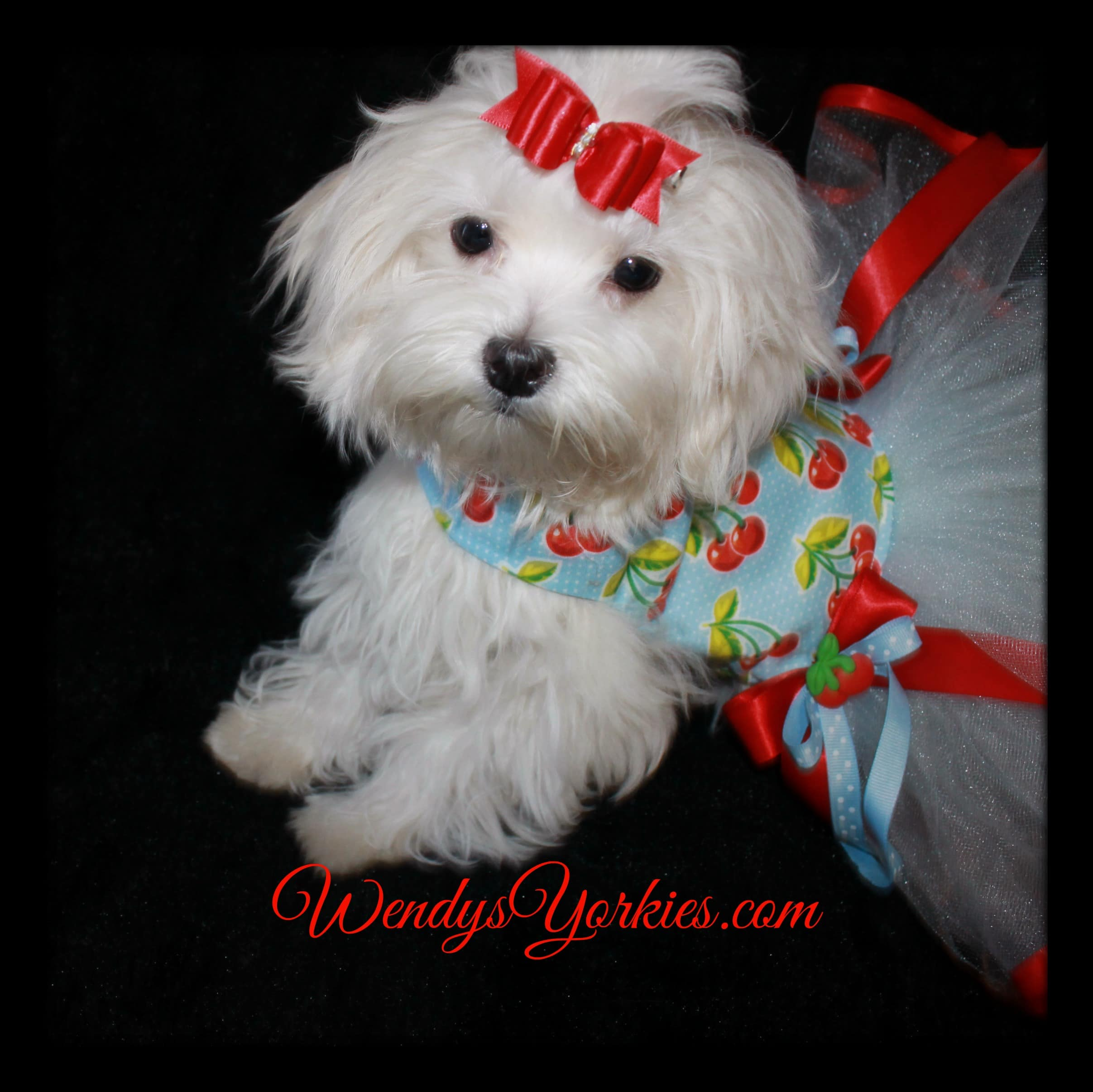 Tiny maltese puppies for sale wendys yorkies tiny maltese puppies for sale nvjuhfo Images