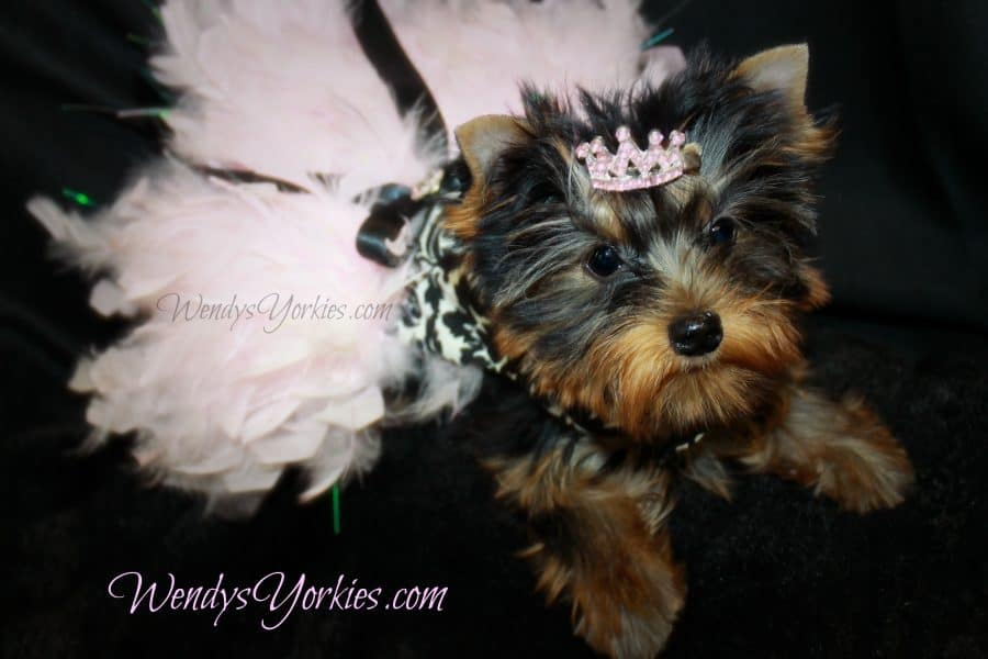 Tiny Teacup Female Yorkie puppy for sale, WendysYorkies.com, Abby f2