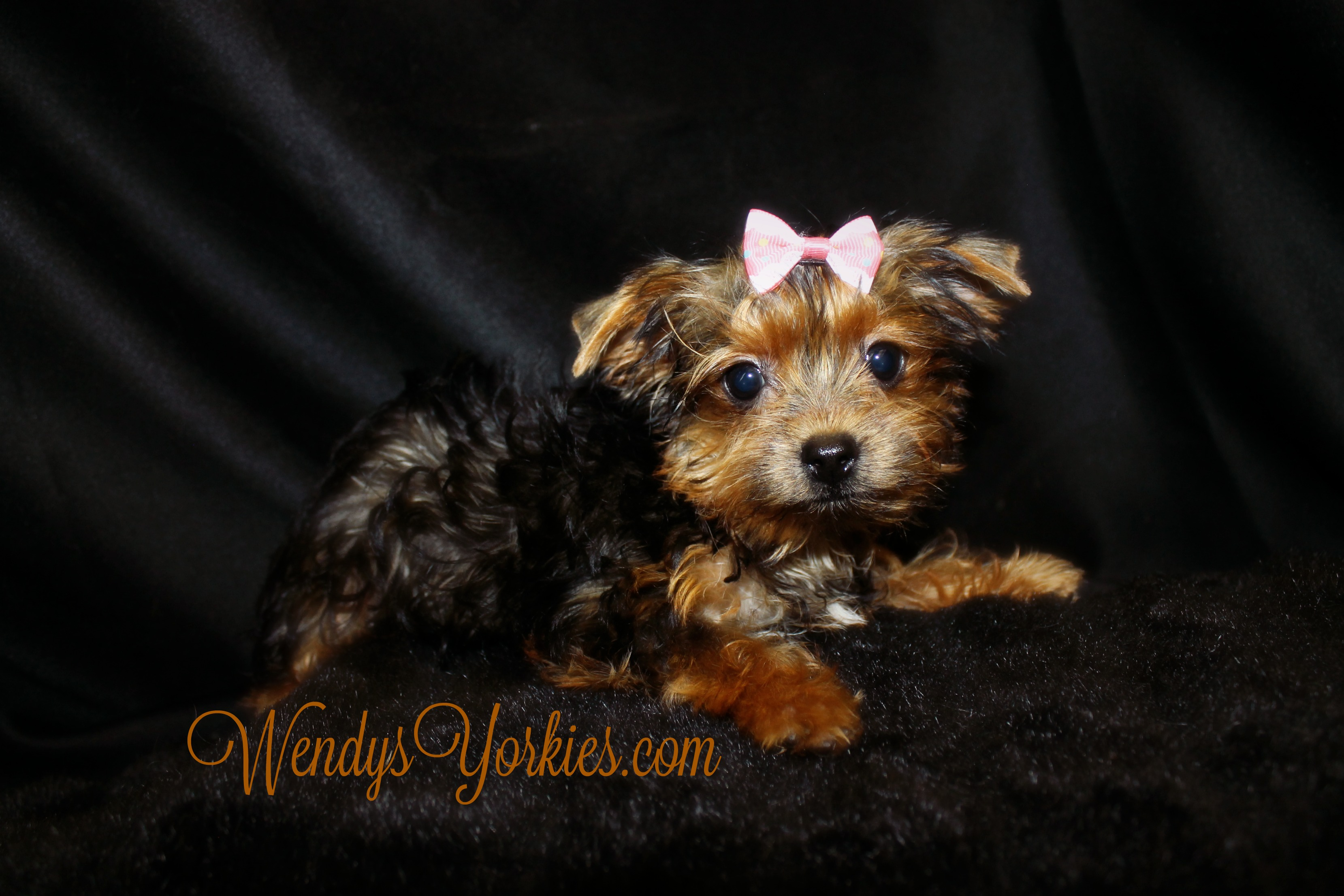 Tiny Teacup Female Yorkie puppy for sale, WendysYorkies.com, Phoebebitty