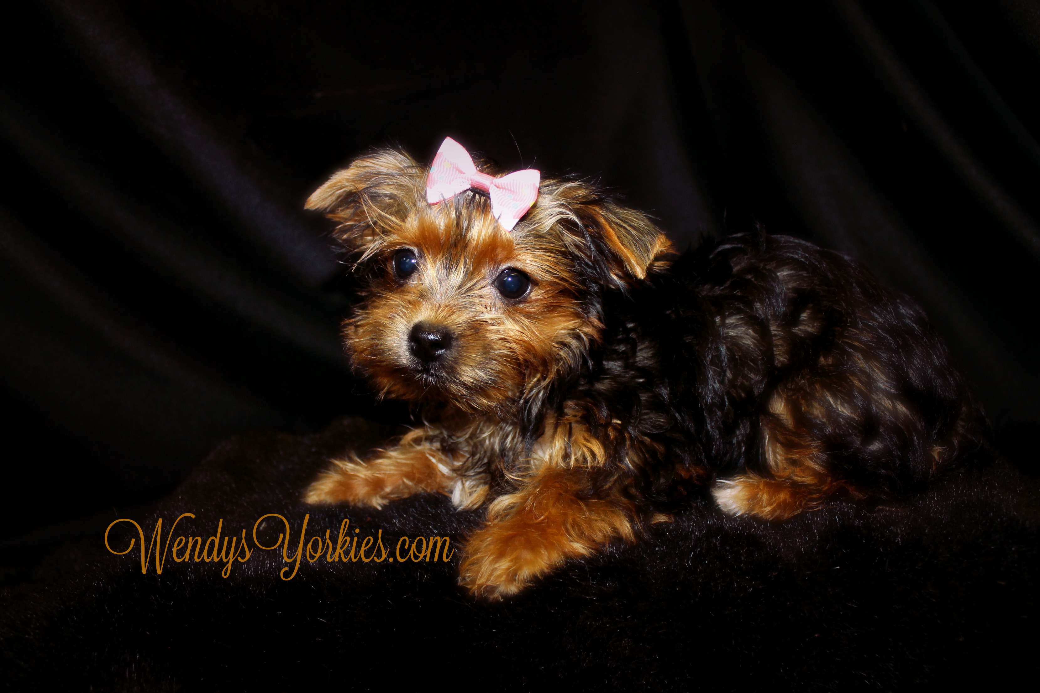 Tiny Yorkie puppies for sale, WendysYorkies.com, Phoebebitty