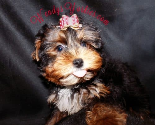 WendysYorkies, Male Yorkie puppies for sale, chanel m1
