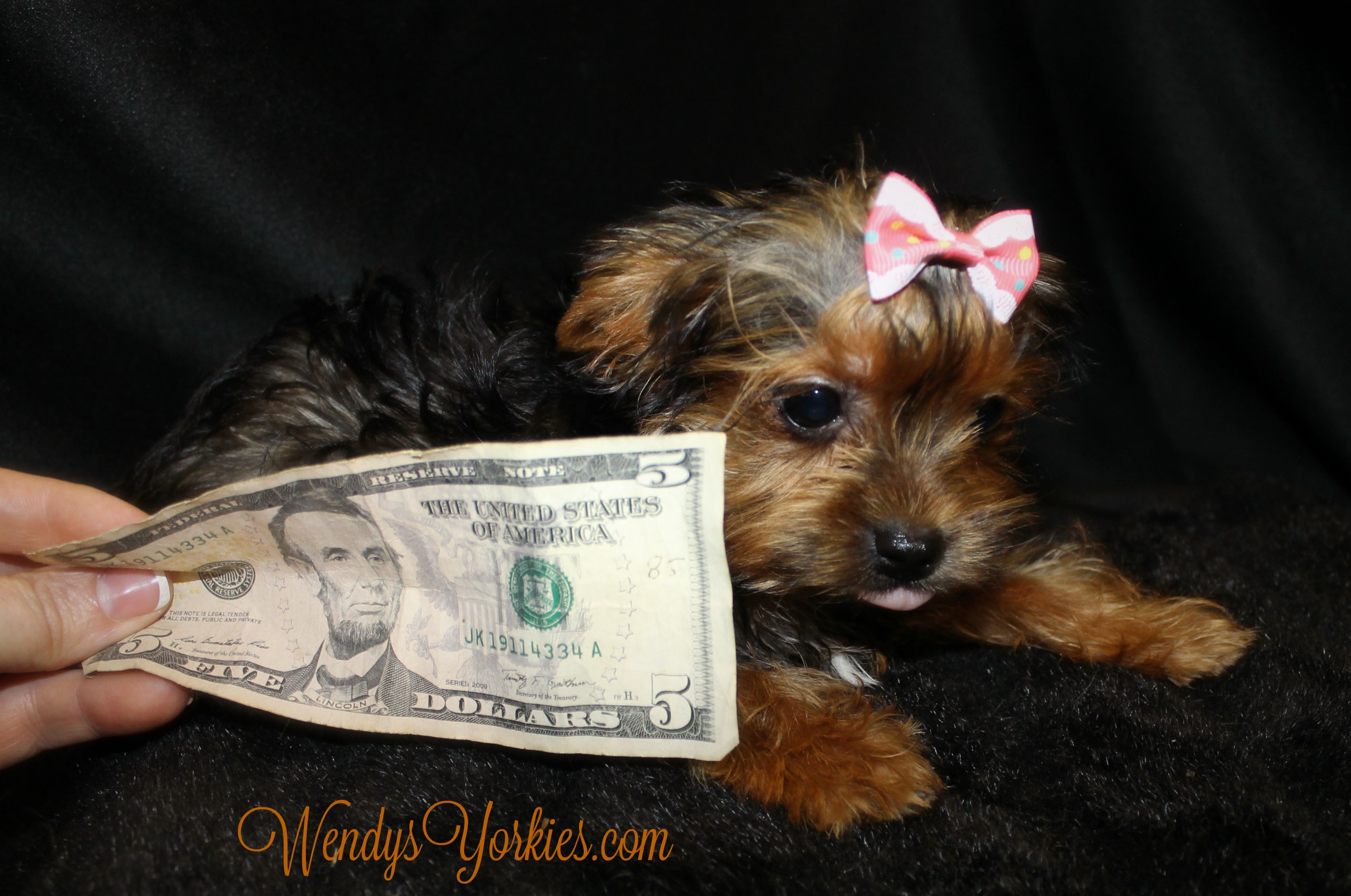 WendysYorkies, Teacup Female Yorkie for sale, Pheobebitty