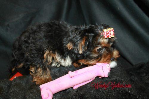 WendysYorkies, Yorkie puppies for sale, Chanel m1