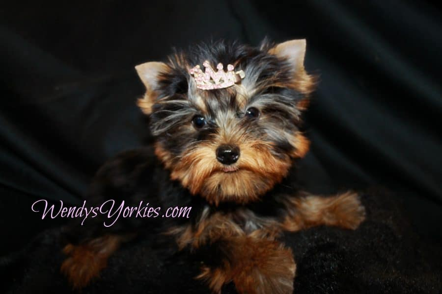 WendysYorkies.com, Abby 2.0, Tiny Yorkie puppy for sale