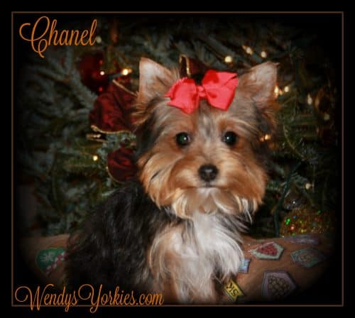 WendysYorkies.com, Yorkie Puppy Breeder, Chanel