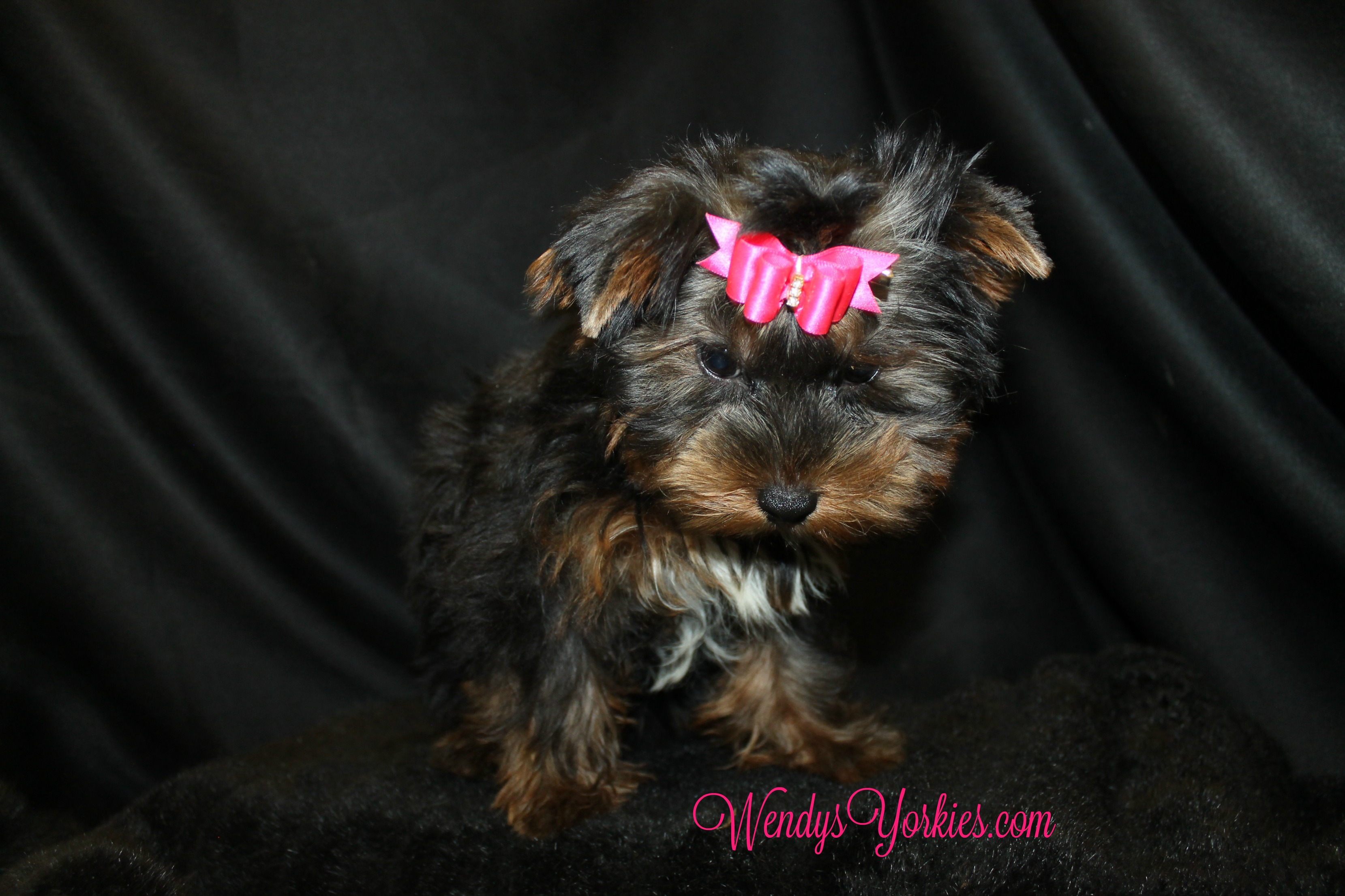 Yorkie puppies for sale, WendysYorkies, ChanelFancy