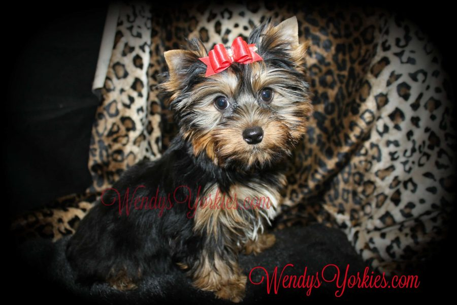Yorkie puppies for sale in Texas, WendysYorkies.com