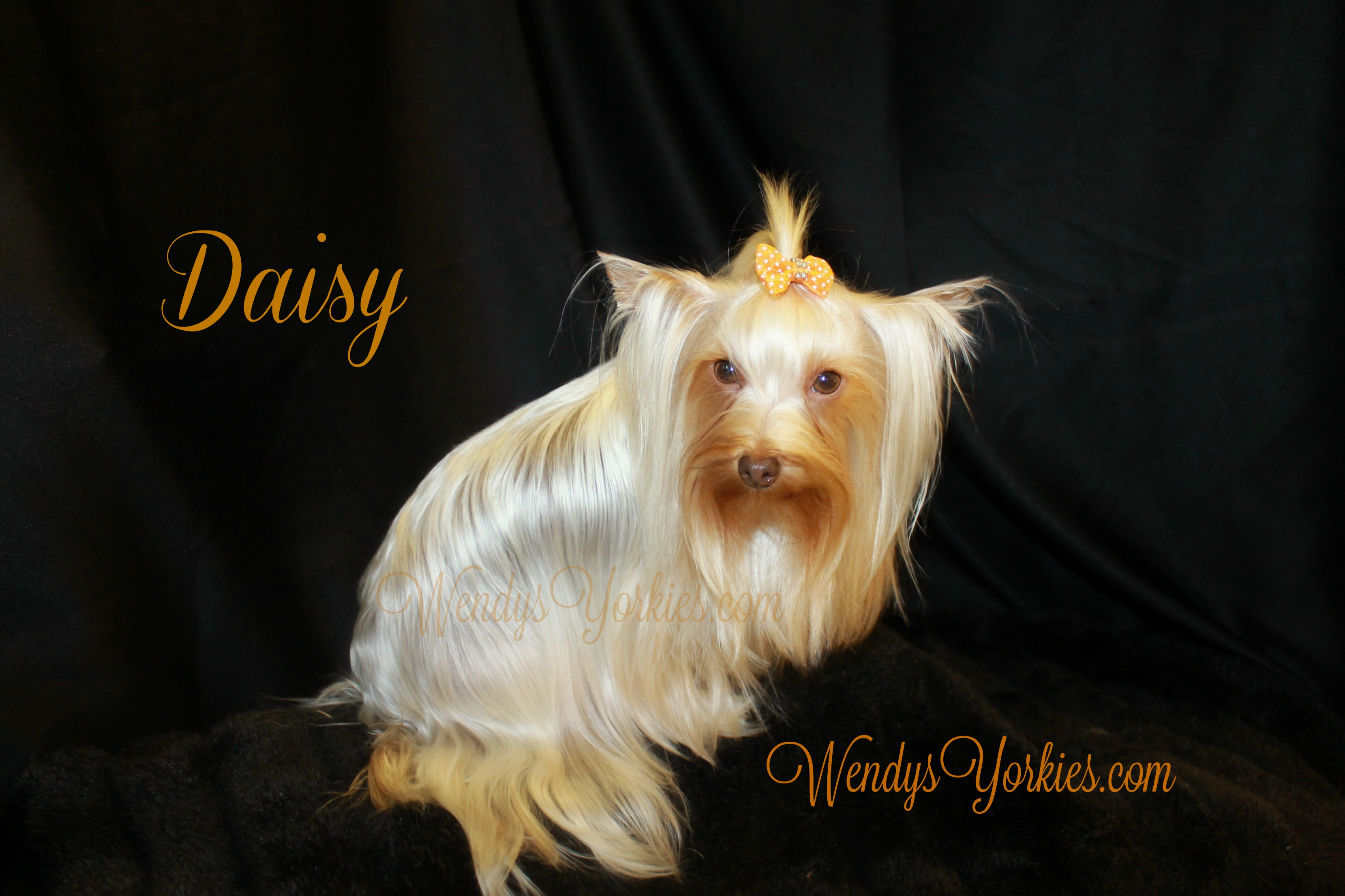 Yorkie puppy breeder in Texas, WendysYorkies.com, Daisy