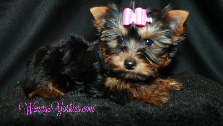 Yorkie puppy, cookie