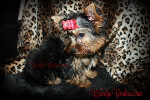 Yorkie puppy for sale in Texas, WendysYOrkies, Abby m1