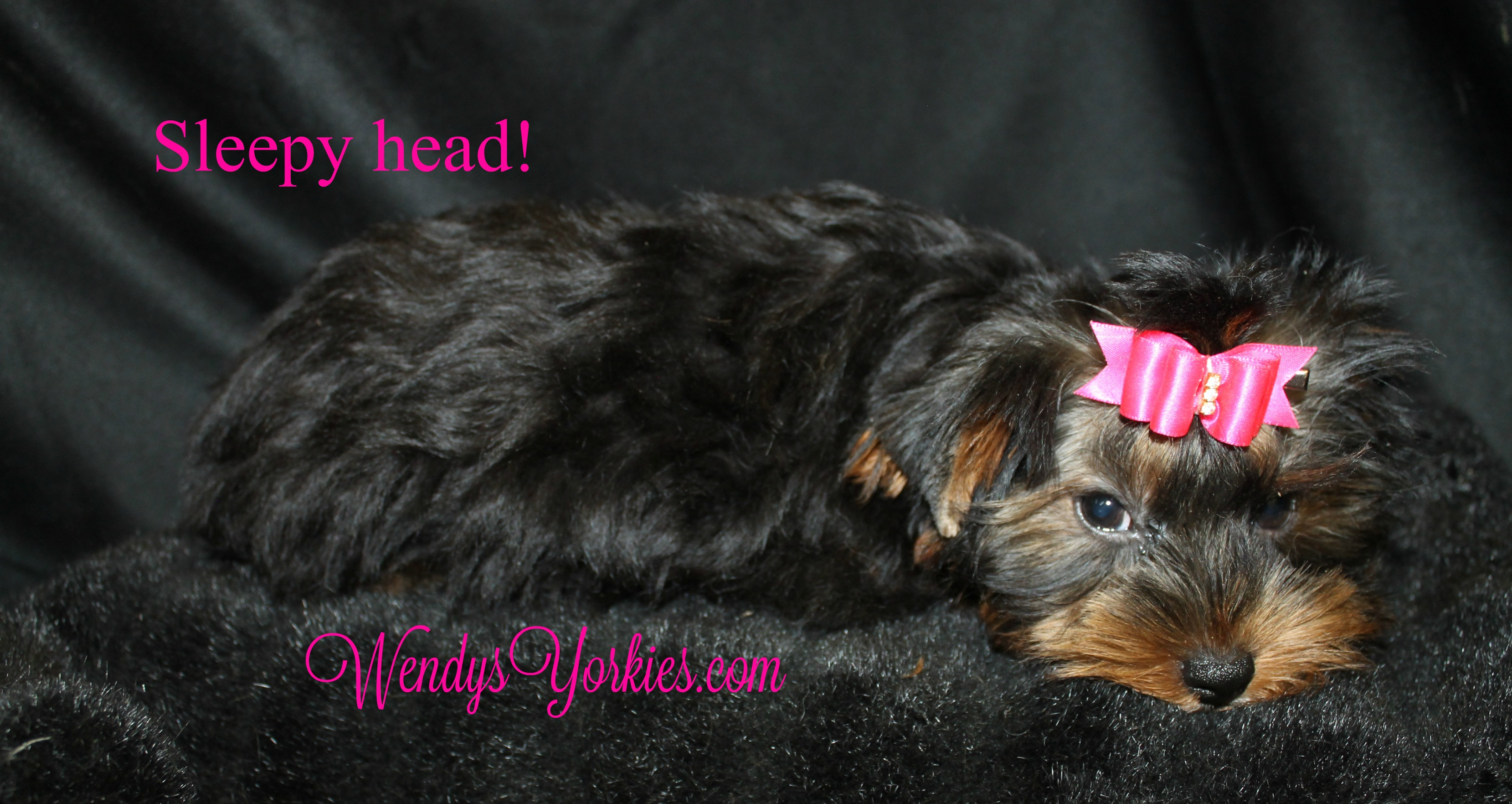 Yorkshire Terrier puppy breeder, WendyYorkies, ChanelFancy