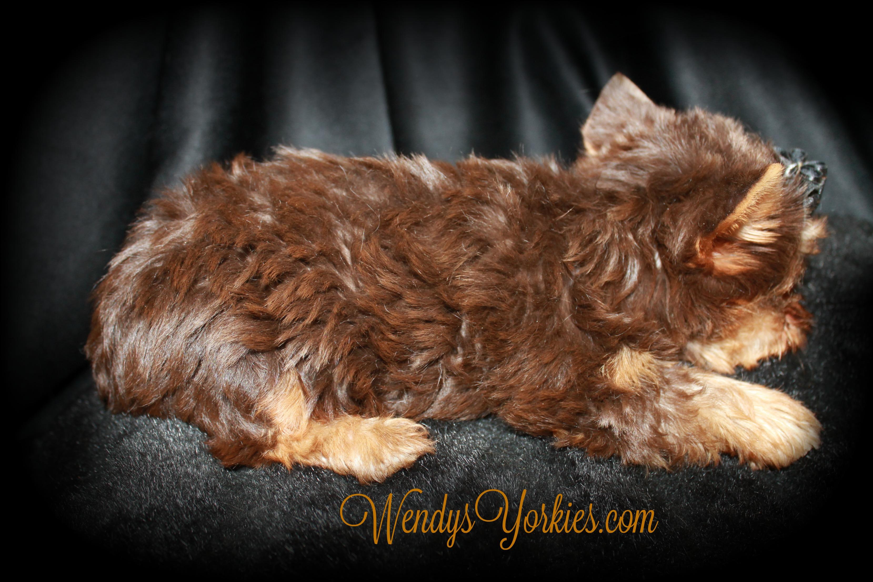 Chocolate Yorkie puppy for sale, WendysYorkies, Skeeter m1
