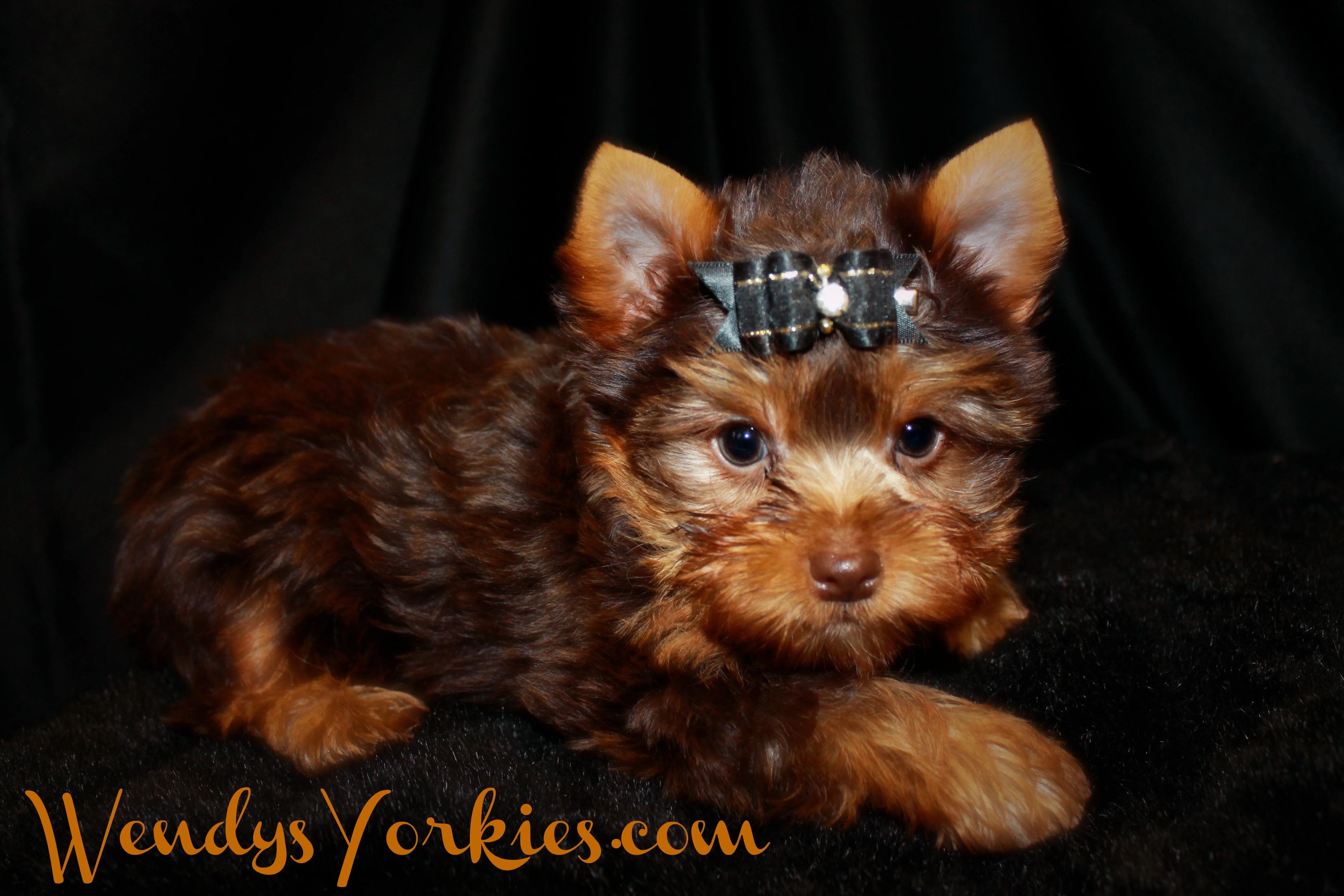 Chocolate Yorkie puppy for sale, WendysYorkies.com, Skeeter m1