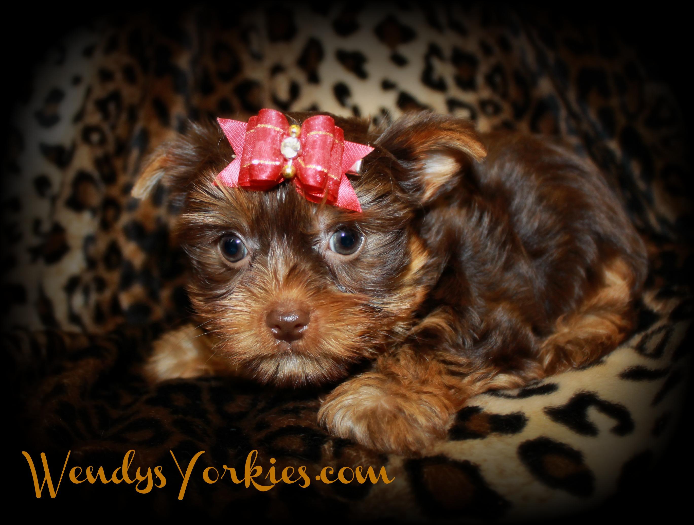Chocolate Yorkie puppy for sale, WendysYorkies.com, Skeeter m2