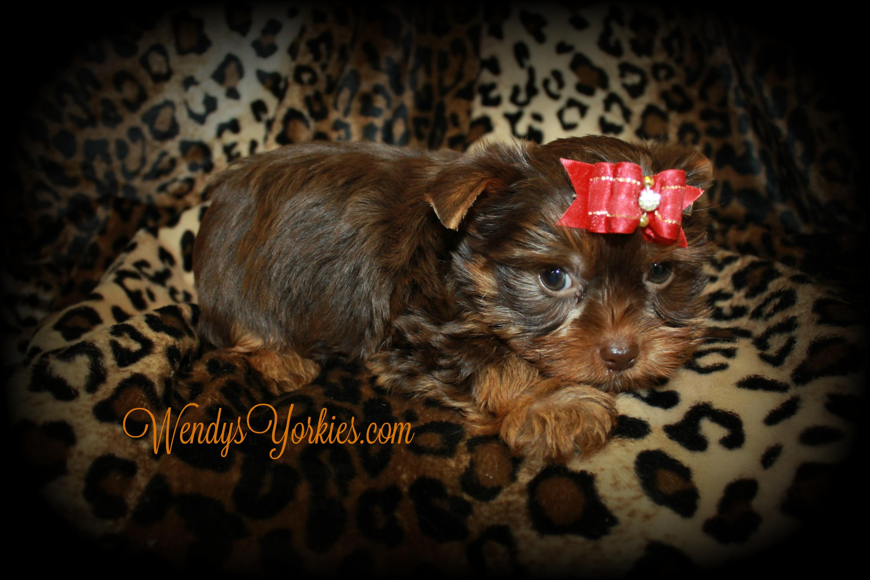 Chocolate Yorkshire Terrier puppies for sale, WendysYorkies.com, Skeeter m2