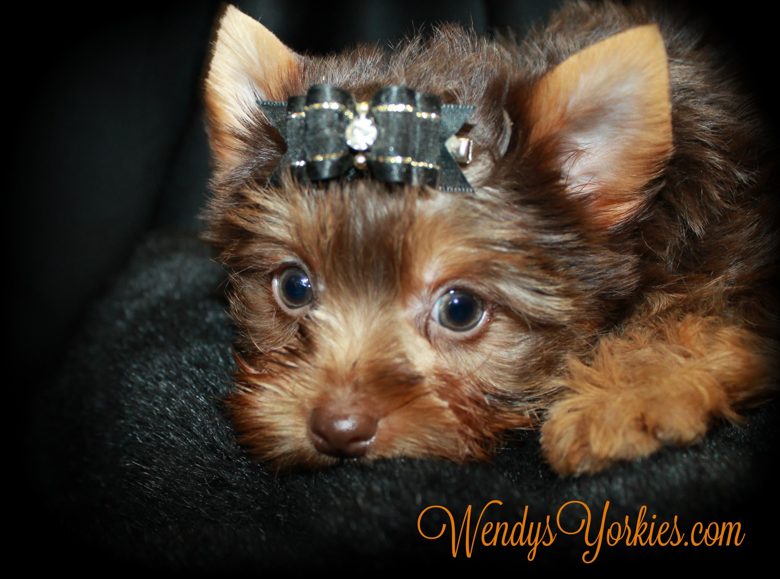Cute Chocolate Yorkie puppy for sale, WendysYorkies, Skeeter m1