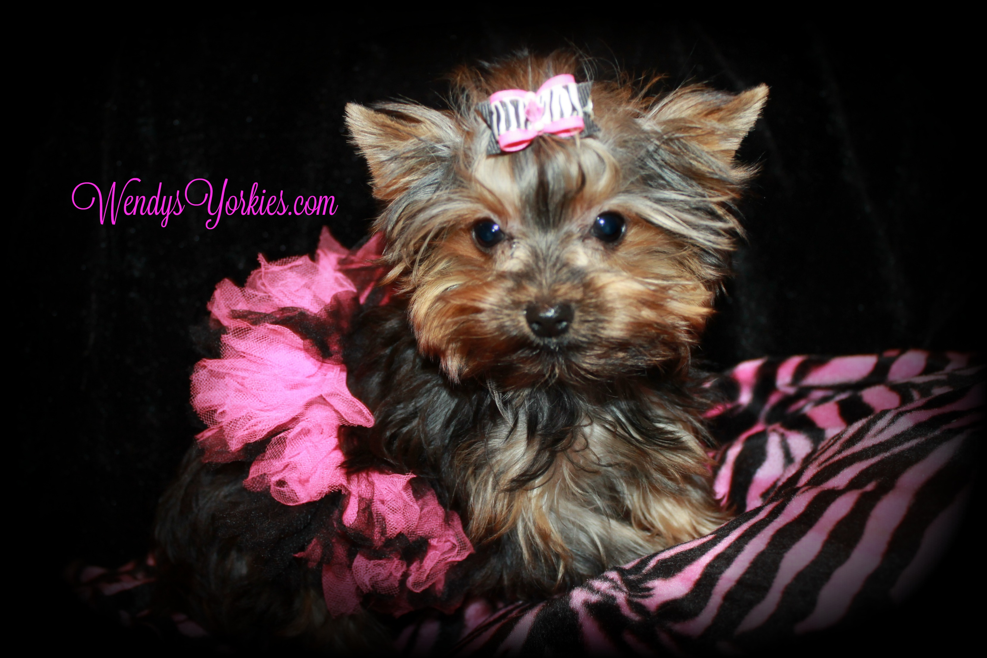 Cute Tiny Yorkies puppies for sale, Erma