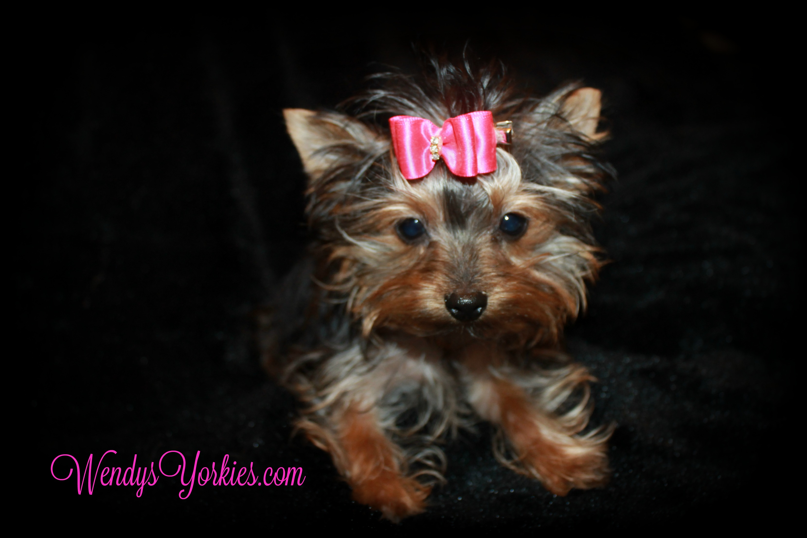 Micro Yorkies puppy for sale, Tiny