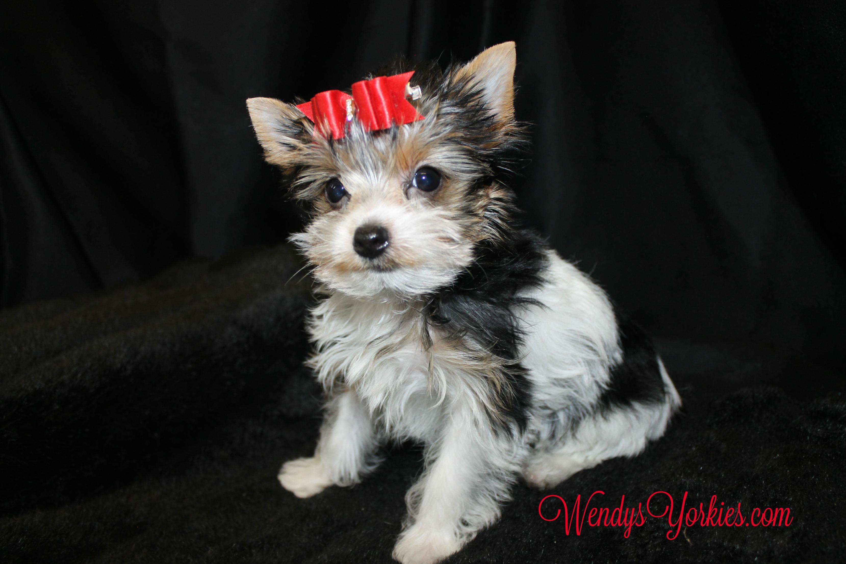 Parti Yorkie puppy, Ella