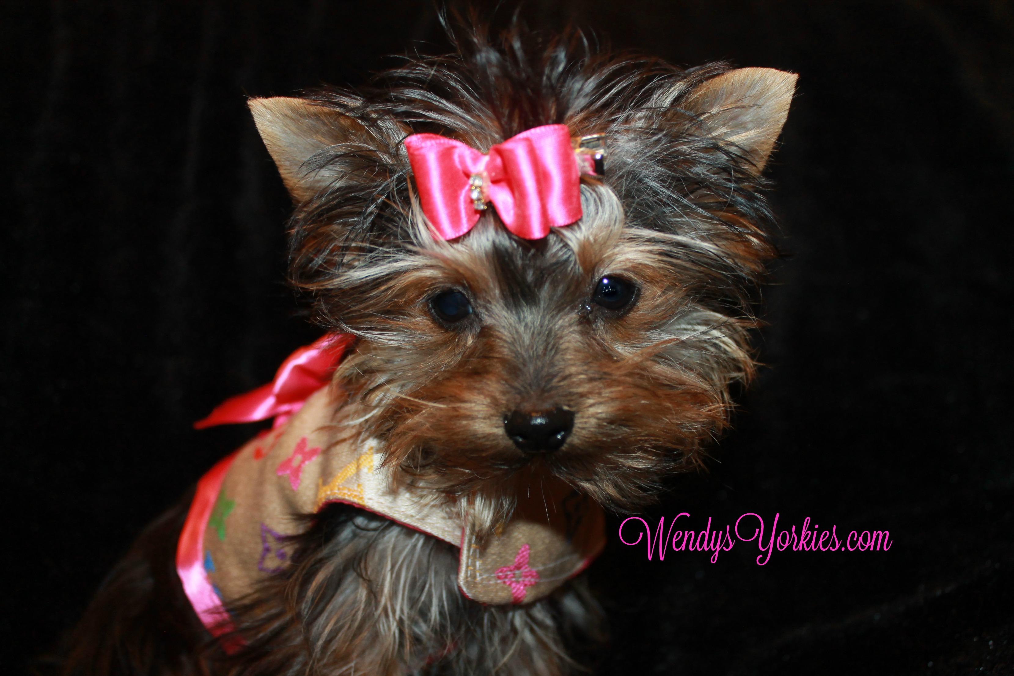 Purse size Yorkies puppy for sale, WEndysYorkies.com, Tiny