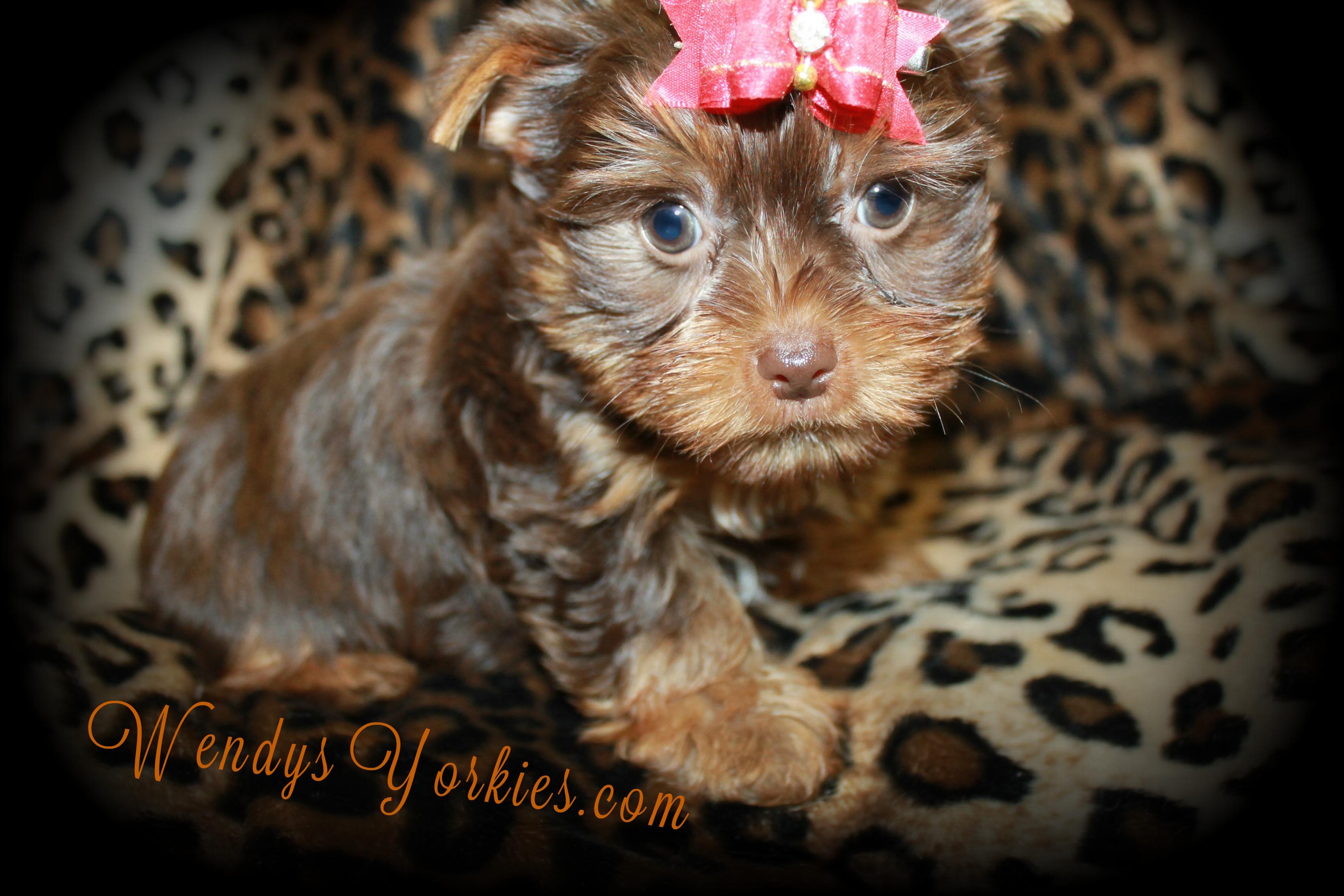 TEacup Chocolate Yorkie puppy for sale in Texas,WendysYorkies.com, Skeeter m2
