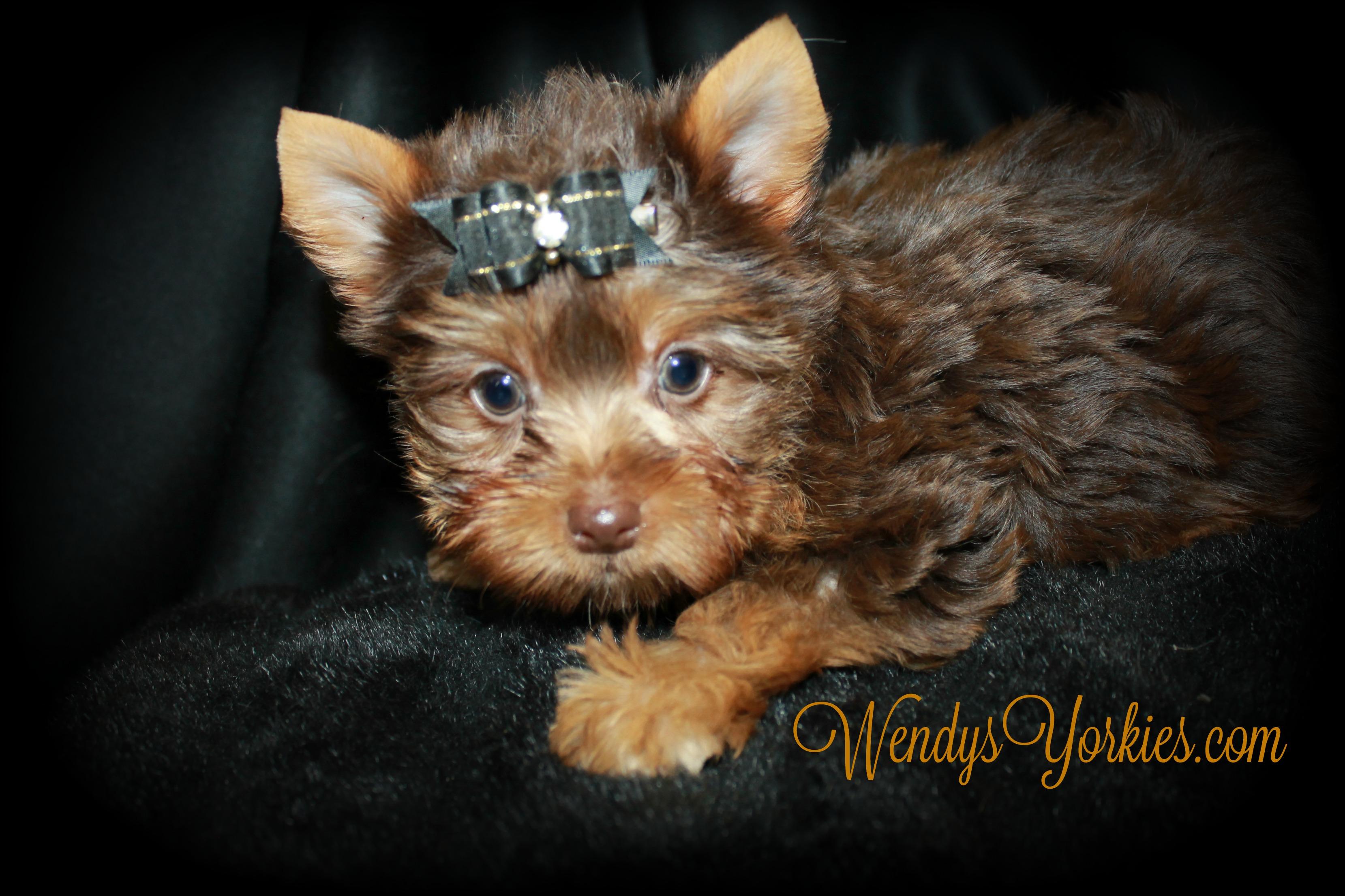 Teacup Chocolate Yorkie puppy for sale, WendysYorkies.com, Skeeter m1